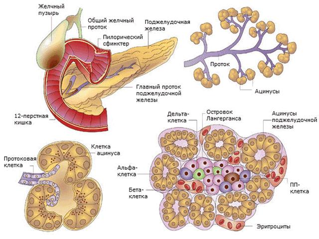 Поджелудочная железа диетическое питание